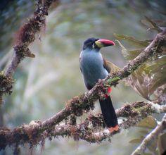 Montane Ecuador - gray breasted mountain-toucan guango