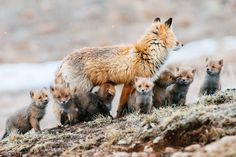 Baby Foxes......White Wolf : A Russian worker takes stunning photos of foxes in a remote wilderness area.