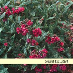 'Raspberry Splash' - Lungwort - Pulmonaria longifolia hybrid