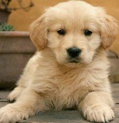 Cachorro Golden Retriever...