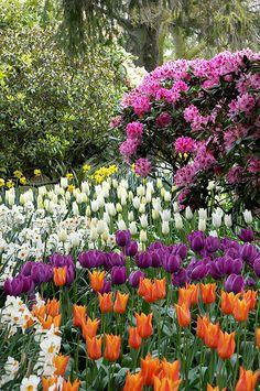 Tulip Garden, Mt Vernon, Washington ::: Tulips my favorite flower. Most Beautiful Gardens, Beautiful Flowers Garden, Love Garden, Dream Garden, Pretty Flowers, Tulips Garden, Planting Flowers, Spring Bulbs, Cactus Y Suculentas