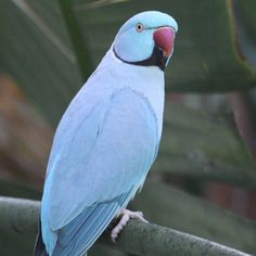 Lost Indian Ringneck Parakeet Parrot / Bird Hoxton Park, New South Wales, NSW, Australia - Pretty Birds, Beautiful Birds, Beautiful Butterflies, Exotic Birds, Colorful Birds, Passaro Ring Neck, All Birds, Love Birds, Ring Necked Parakeet
