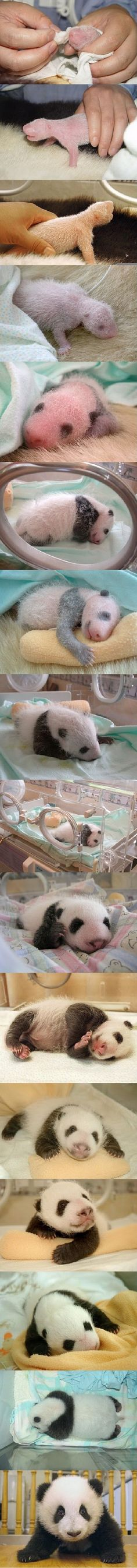 Baby panda evolution | Teh Cute - Cute puppies, cute kittens & other adorable cute animals