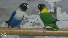 papagali agapornis - Căutare Google Parrot, Bird, Google, Animals, Parrot Bird, Animales, Animaux, Birds, Animal