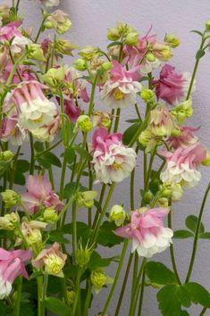 Aquilegia Pink Petticoat - Border - By Location - Flowers Home Flowers, All Flowers, Types Of Flowers, Beautiful Flowers, Paper Flowers, Deer Resistant Garden, Hardy Perennials, Beautiful Nature Wallpaper, Spring Bulbs