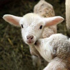 Adorable Lambs