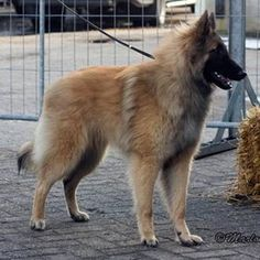 Belgian Shepherd Dogs at Mirribandi, Groenendael & Tervueren, Australia