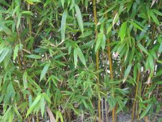 Hardy Bamboo Plants: Growing Bamboo In Zone 6 Gardens -  Many bamboo plants for zone 6 are even hardy into USDA zone 5, making them perfect specimens for northern regions. Click this article to learn which species are the most cold hardy so you can plan your zone 6 bamboo garden.