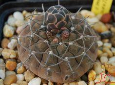 Gy. Schatlianum (ex.L.Bru) | da Hibisco1