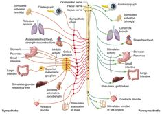 Autonomic Nervous System Chart | the autonomic nervous system has two specific systems within it the ...