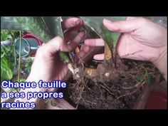 Comment rempoter votre Sansevieria masoniana / Whale Fin Sansevieria - YouTube Aleta, Arm Warmers, Whale, Tutorials, Gardening, Green, Youtube, Leaves, Fish Fin