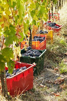 Grape harvest in Montalcino, Tuscany, Italy.