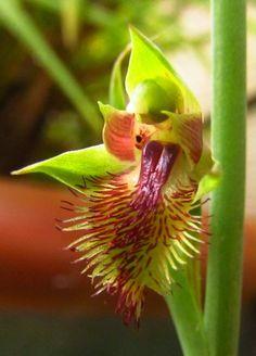 Pale Beard Orchid Calochilus herbaceous.