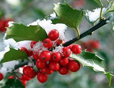 holly tree decorations...