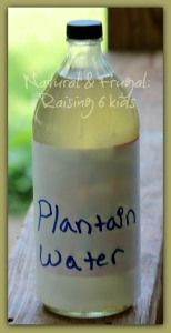 How to harvest plantain weed plantain water