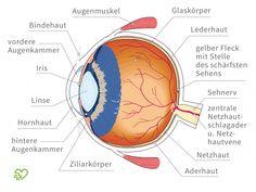 Illustration: Anatomie des Auges.