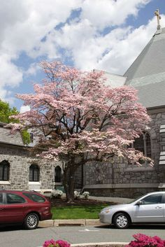 Flowering Dogwood by the church. Villanova University, Spring Tree, Flower Power, Landscaping, Florida, Trees, Gardens, Spaces, The Florida