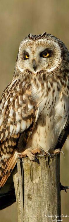 Wide Owl ...