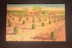 Vintage Postcard Stacks Of Peanut Vines Texas  Bursheen Finish Linen Texture