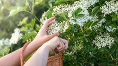 Cut Flowers from the Elderberry Bush in a Wicker Basket - Buy this stock photo and explore similar images at Adobe Stock Elderberry Bush, Cute Room Ideas, Elderflower, Influenza, Medicinal Plants, Herbal Medicine, Cut Flowers, Herbal Remedies, Wicker Baskets