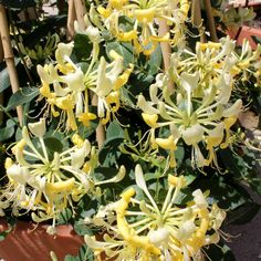 'Scentsation' - Honeysuckle - Lonicera. Proven Winners. Extremely fragrant yellow flowers blooms from mid-spring to late summer, followed by bright red berries. This floriferous honeysuckle has a very long bloom time, requires little pruning and can be trained up a trellis or fence.
