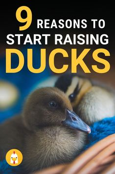Here are some great reasons to start raising ducks on your small farm. Raising ducks is a great choice and they are fun as well. Backyard Ducks, Chickens Backyard, Backyard Poultry, Chicken Eating, Chicken Runs, Raising Ducks, Raising Chickens, Baby Chickens, Urban Chickens