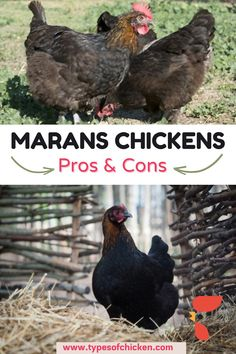 What makes this breed very special for most of their keepers is that they are able to lay chocolate colored eggs and therefore the egg collecting process more than fun for the keepers and their families. #marans #chicken #cucko #hens #eggs #color #chocolate Chicken Home, Best Chicken Coop, Backyard Chicken Coops, Chickens Backyard, Types Of Chickens, Chickens And Roosters, Raising Chickens, Maran Chickens, Buff Orpington