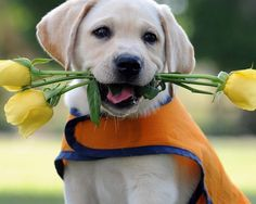 1280x1024 Обои лабрадор, щенок, цветок, жилетка