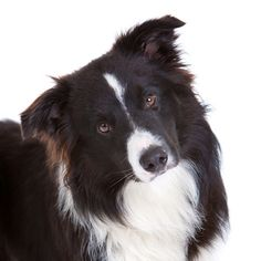 border collie dog photo | Before owning a Border Collie there are several facts that you should ...