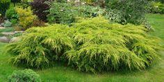 Aranylombú terülő boróka Gold Coast, Evergreen, Garden Plants, Landscape Design, Australia, Colours, Image, Garden Ideas, Google Search