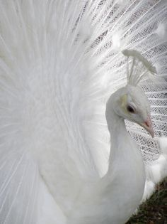 New goal added to the list is to see an albino peacock! Pavo Real Albino, Albino Peacock, Peacock Tail, Peacock Feathers, Beautiful Birds, Animals Beautiful, Cute Animals, Albino Horse, White Peacock