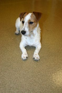 Buster the Jack Russell is well.....a real buster! He is fast learner and has graduated from boarding and training school! #russell #dogtraining