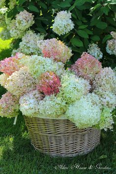 fall gathering of hydrangeas to dry...