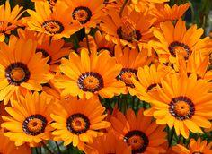 Ursinia anthemoides 'Solar Fire' Alpine Garden, Botany, Garden Inspiration, Garden Plants, Perennials, Wild Flowers, Planting Flowers, Solar, Landscape