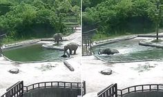 The youngster had been standing at the side of a large pool in its enclosure in Grand Park Zoo in Seoul, South Korea, with one of the adult elephants when it slipped and fell into the water (pictured).