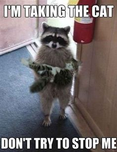 & we stay today?& A raccoon might want to say. The post & we stay today?& A raccoon might want to say. appeared first on Animals. Cute Funny Animals, Funny Animal Pictures, Cute Baby Animals, Funny Cute, Animals And Pets, Cute Cats, Meme Pictures, Funny Pics, Funny Stuff