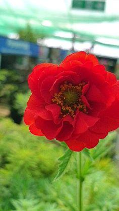Plants for your Floriferous Garden Flowers Nature, Exotic Flowers, Pretty Flowers, Red Flowers, Red Roses, Planting Flowers, Flower Plants, Primroses, Rose Pictures