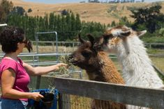 5 Important Reasons You Should Add Llamas To Your Livestock Herd