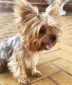 Yorshire Terrier, Terrier Dog Breeds, Cute Dogs, Cute Babies, Yorkshire Terrier Dog, Yorkies, Cute Baby Animals, Pets, Bible Verses