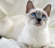 The new member of our family; Lilac Point Siamese kitten.  09/04/14