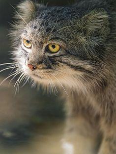 Pallas's cat (Otocolobus manul) with nice light