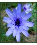 blue cupid's dart; catananche; perennial flower