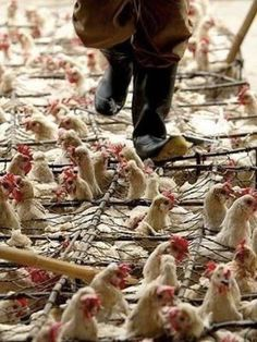 "♔ here is your ""Free Range"" chicken. all it means is they are crammed into one big prison instead of a lot of small ones. Imagine living your life in a crowded elevator. Live vegan. Have a heart."