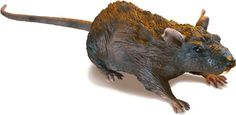 Uncle Milton Radio Control Rat   It's RC Rat! Watch it scurry around...it's so realistic! Its furry texture makes it seem like the real thing! Use the remote control to Read  more http://shopkids.ca/toys-videos-games/uncle-milton-radio-control-rat