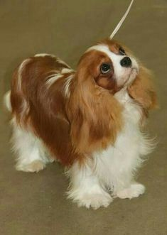 What a little beauty <3 Cavalier King Charles Spaniel