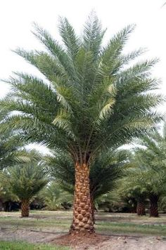 phoenix sylvestris - Google 検索 Tropical Garden, Tropical Plants, Cactus Plants, Living In Belize, Balinese Garden, Desert Backyard, Tree Fern, Colorful Plants, Paradise On Earth