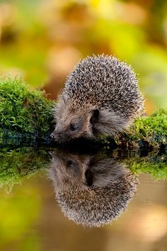 reflection hedgehog