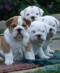 Cucciolo di bulldog inglese in Taranto | Clasf Animali