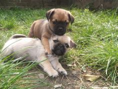 These 15 pug cross-breeds will make you fall in love with mutts. Pug Mixed Breeds, Cute Puppies, Cute Dogs, Pug Breed, Pug Cross, Dog Games, Yorkshire Terrier, Cute Baby Animals, Beautiful Creatures