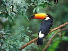 Image result for images of toucans